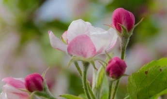 Festa dei Meli in Fiore a Caldonazzo